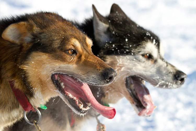سگها چگونه به خدمت انسان در آمده و اهلی شدهاند