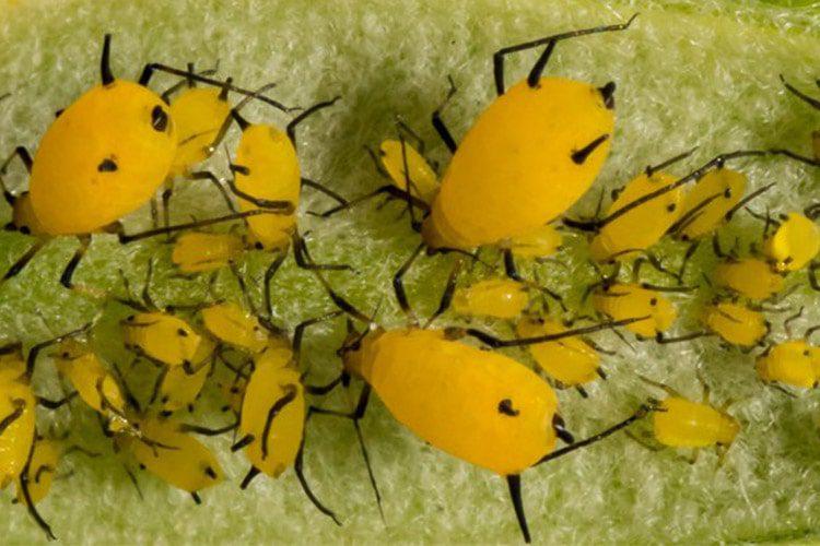 ارتش حشرات مهندسی شده پنتاگون برای حفاظت از محصولات کشاورزی