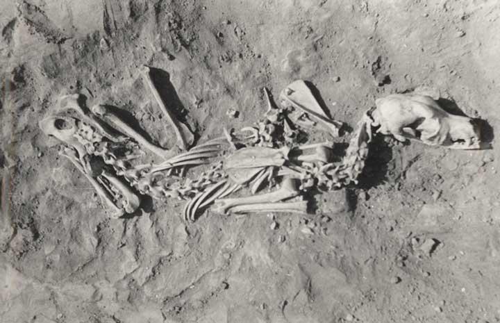 بقایای استخوانی سگ