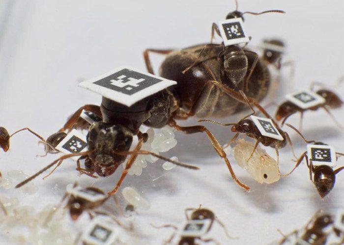 مورچه ها تگ دار شدن توسط پژوهشگران