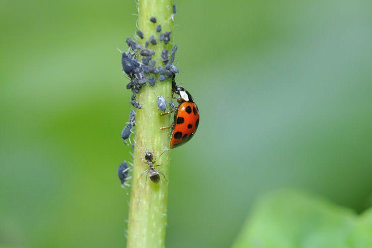 کفشدوزک / Ladybug