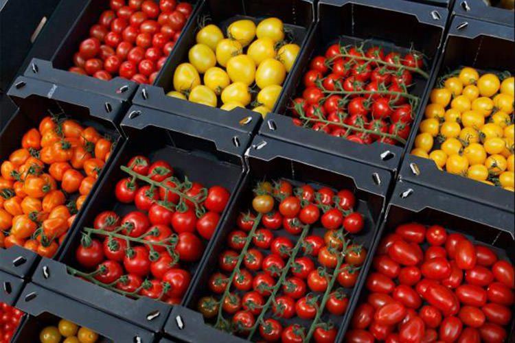 گوجهفرنگی هلندی / Dutch Tomatoes