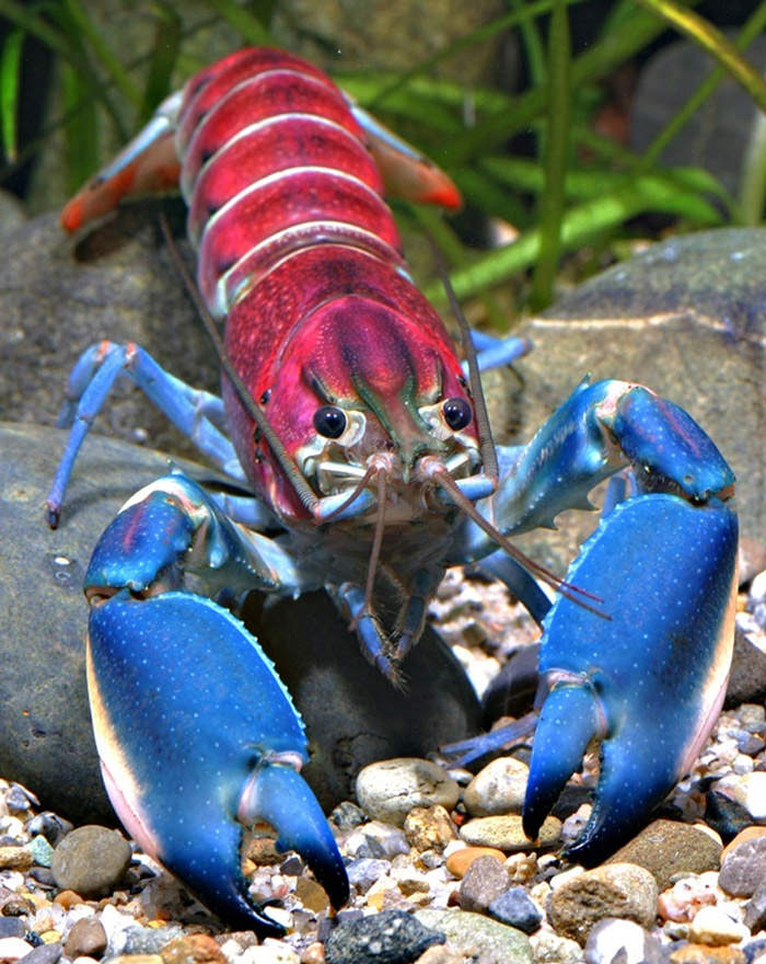 کشف گونه ای جدید از خرچنگهای خاردار