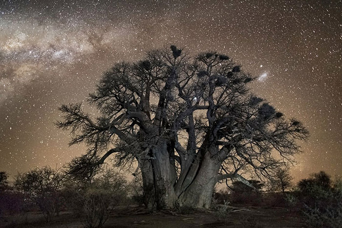 چشم انداز درختان کهن با پس زمینهای از آسمان پر ستاره