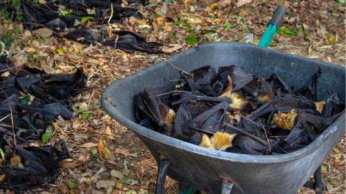 لاشه ی خفاش ها در اطراف شهر کنز