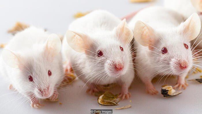 موشهایی که از ذرات معلق تغذیه کردند , واکنش ژنتیکی تغییر یافته را نشان دادند.