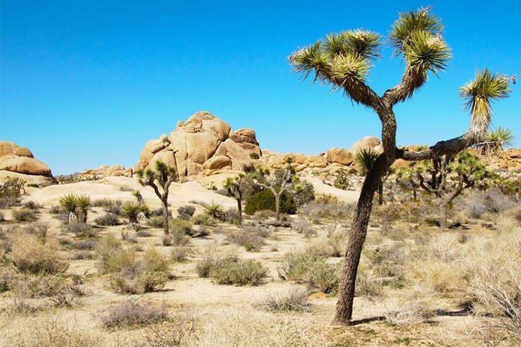 طرفداران محیطزیست اغلب از روی ارتفاع سنوسال درختان جاشوا را برآورد میکنند.