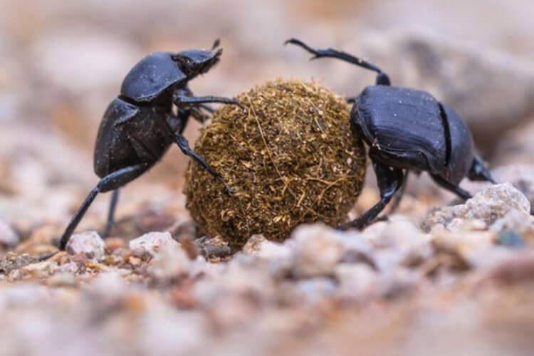 سوسکها سرگین که به بازیافت فضولات دیگر موجودات کمک می کنند
