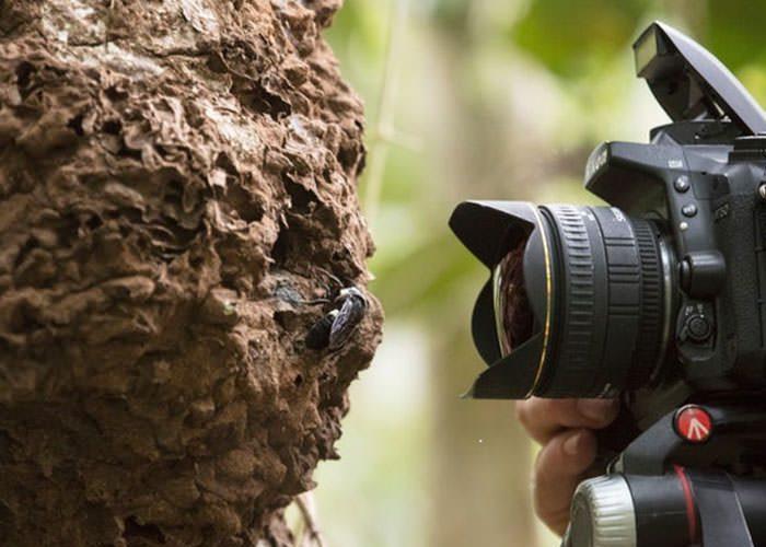 زنبور والاس در فهرست حشرات زنده در خطر انقراض قرار دارد