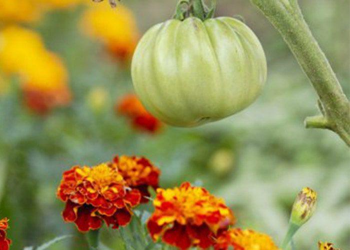 لیمونین دور کننده آفات گیاهان